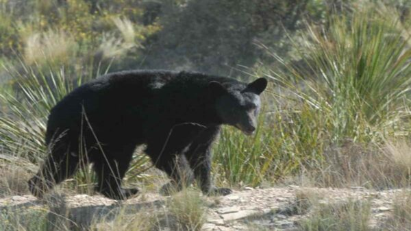 Autoridades alertaron a los ganaderos por el avistamiento de osos negros, los cuales atacaron a ganado y caballos de la región