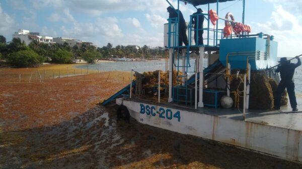 Recolecta Semar más de 10 mil toneladas de sargazo en Quintana Roo.