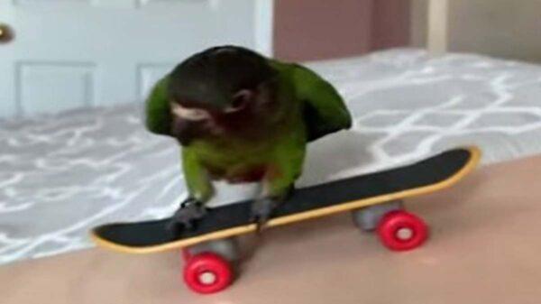 Mickey es un periquito que ha conquistado las redes sociales por su habilidad para el monopatín; el ave parece disfrutar cuando se desliza sobre las ruedas