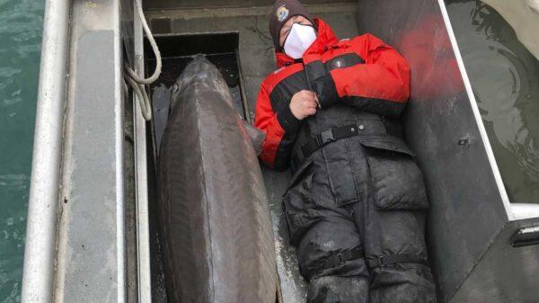 Un enorme ejemplar de esturión de lago con un peso de 108.8 kilos, fue capturado por el equipo científico del Servicio de Pesca y Vida Silvestre de EU