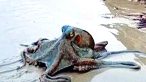 Cuando realizaba un paseo por Wategos Beach, en Australia, una joven captó en video un enorme pulpo que se deslizaba por la arena