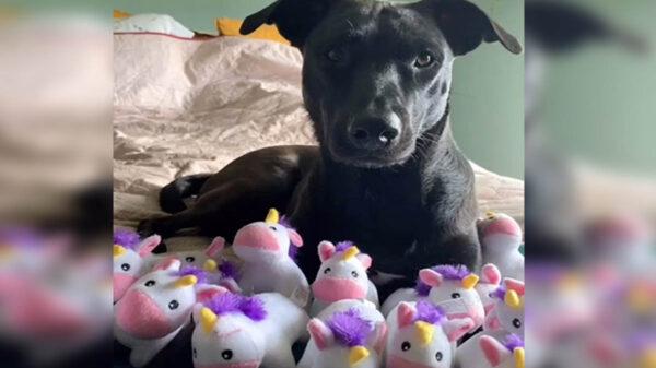 Las manías de nuestras mascotas no puede dar dolores de cabeza, alegrías e incluso asombrarnos, tal es el caso de Rosie, una perrita obsesionada con los unicornios