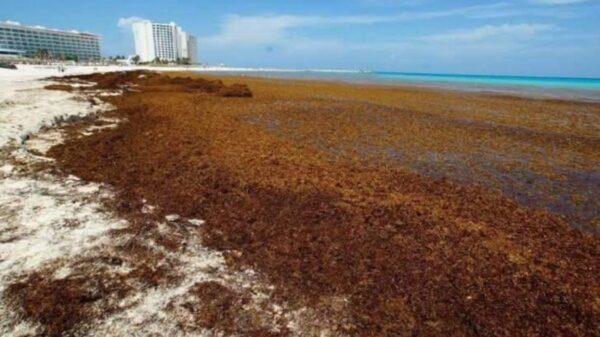 Llegará otro 'islote' de sargazo en julio a costas de Quintana Roo.