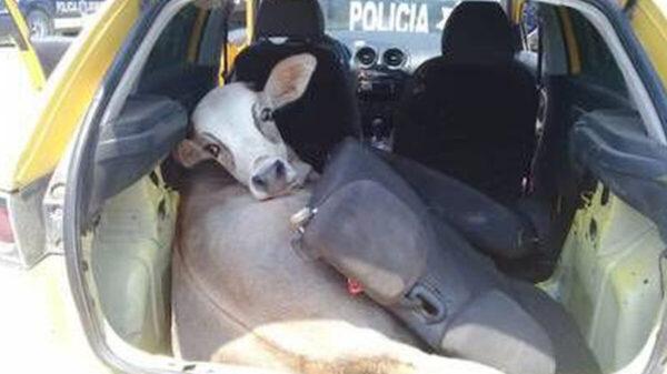 Policía buscaban armas en vehículos y se encontraron con una res robada