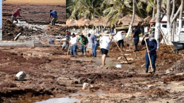 """Sargazotón"" en Mahahual logra recolección de 96 toneladas de macroalga"