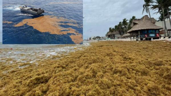 Quintana Roo, en la antesala de gigantesca oleada de sargazo