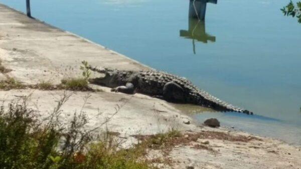 Urge programa permanente de cocodrilos en el Sistema Lagunar Nichupté.