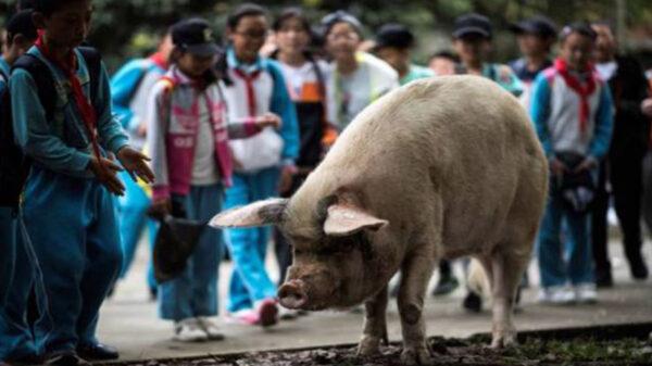 El cerdo que sobrevivió al terremoto del 2008 en China, falleció dejando luto nacional, era considerado como un símbolo de perseverancia y sobrevivencia