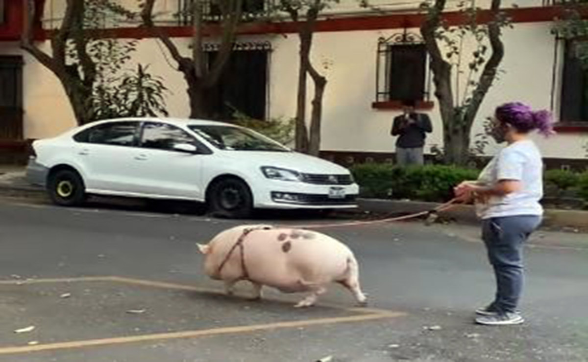 En redes sociales se viraliza el video de una joven paseando con su singular mascota, un cerdito gigante