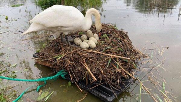 Cansado de ver como una mamá cisne cada año perdía sus huevos, Rob Adamson, improvisó una balsa para que el ave pueda dejar descendencia