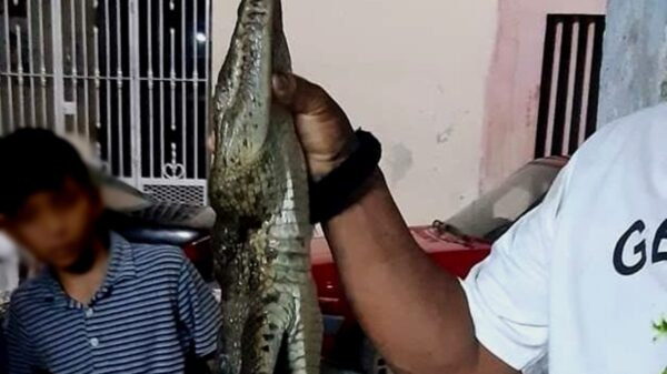 Ante presencia de cocodrilo, vecino de Ciénega 200 en Progreso lo mata