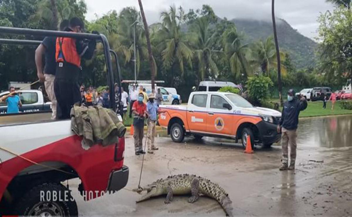 Las lluvias que ha dejado en temporal en Acapulco, provocó que un despistado cocodrilo saliera de su hábitat y deambulará por la zona turística