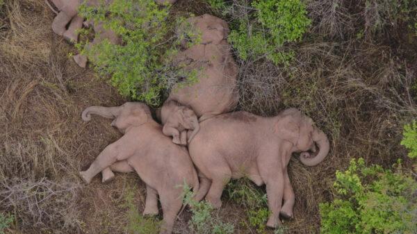 Sin que aún se tenga certeza de que obligó a un grupo de elefantes a emigrar, fue captada tomando un descanso el pasado lunes