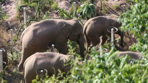 Una mandad de 15 elefantes caminan desde hace 20 días sin rumbo a los campos del Sur de China, generando alerta entre los científicos
