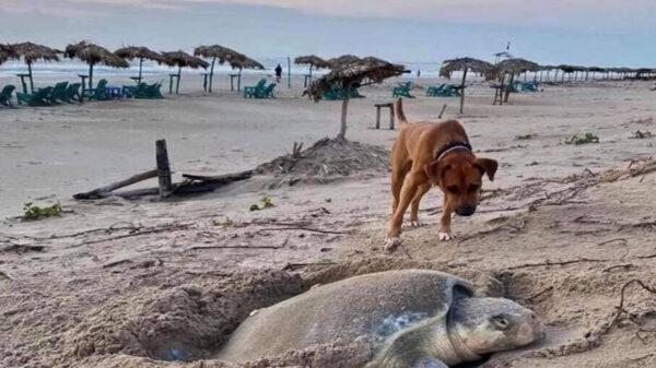 Solovino, es un perrito que se volvió viral por la hermosa labor que realiza, se encarga de proteger a las tortugas en las playas de Tamaulipas
