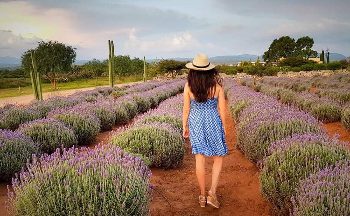 Este es el Rancho de Lavanda en Guanajuato que debes visitar