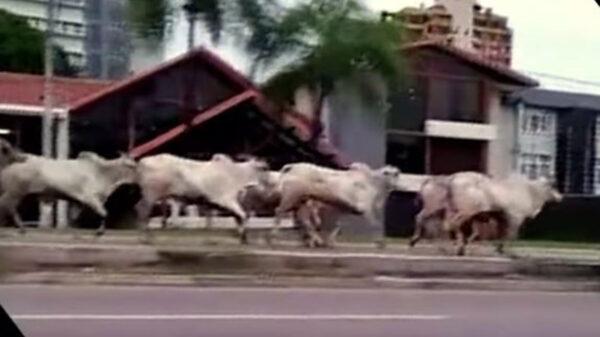Una manada de vacas embistió a un grupo de personas, dejando cuatro lesionados. Los hechos se registraron en Santa Cruz Bolivia