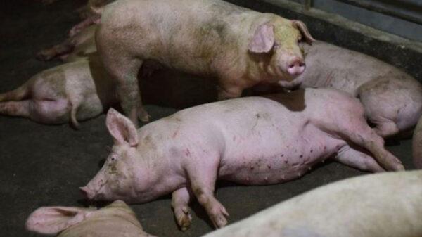 ¡Alerta! Reforzará México medidas ante el reporte de peste porcina africana
