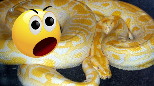 Serpiente muerde en el trasero a hombre sentado en su baño