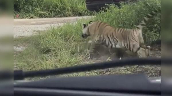 Video: Reportan un tigre suelto en carretera Cancún-Leona Vicario