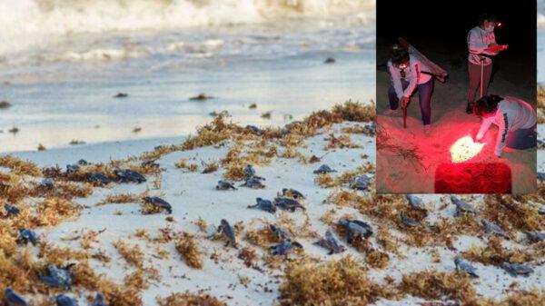 Mil 480 nidos de tortugas han sido protegidos en Cozumel en 2021