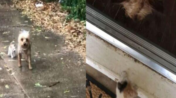 Un perrito decidió rescatar a un gato bebé y lo lleva a la casa de la humana para que lo adopten