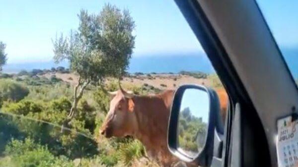 Un hilarante video se populariza entre los usuarios de las redes sociales, en donde se observa a una vaca que parece darle indicaciones a un conductor