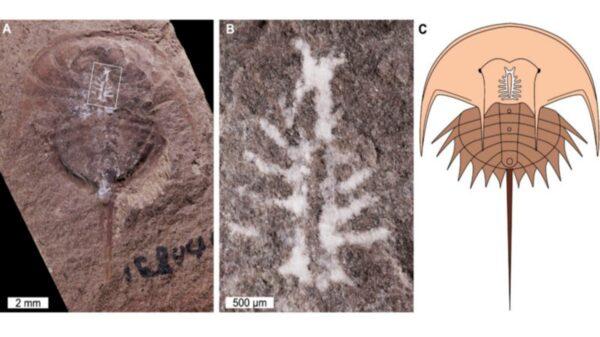 """Un equipo de científicos localizó el fósil de un cangrejo herradura de 310 millones de años de antigüedad el cual poseía su cerebro """"intacto"""""""