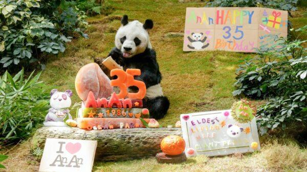 El panda más viejo del mundo conocido como An An cumplió 35 años dentro de las instalaciones del zoológico Ocean Park en Hong Kong