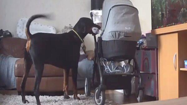 Las redes sociales se derriten por el gesto que un perro doberman llamado Tommy, tuvo con su hermanita humana