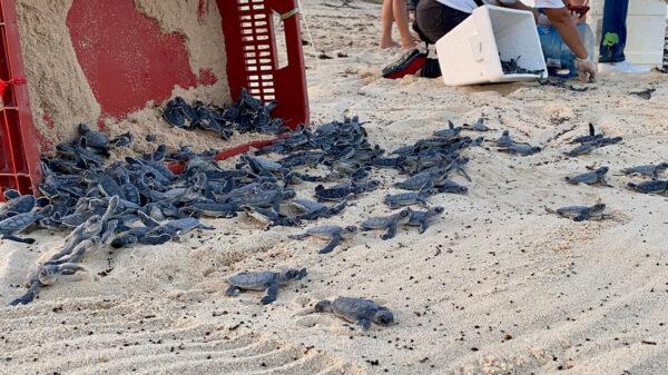Rescatan 120 nidos de tortugas y liberan más de 7,500en Cozumel