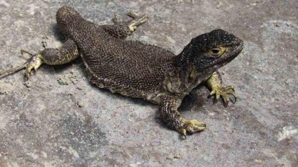 Científicos hallan nueva especia de lagartija en Perú