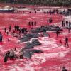 Atroz! matan a 1400 delfines en sangriento ritual