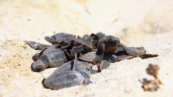 Registra puerto Morelos casi 8 mil crías de tortuga eclosionadas en la actual temporada de anidación
