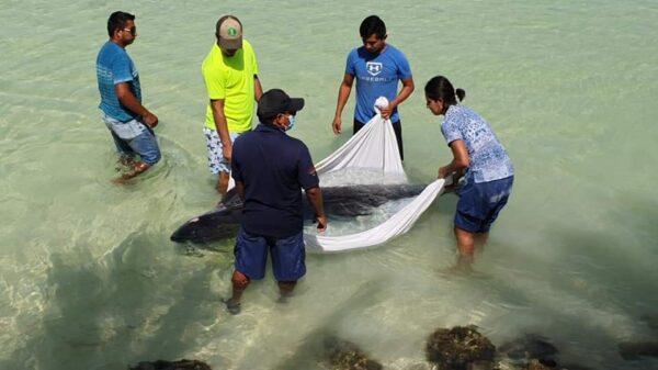 Recala y muere un cachalote por Punta Cocos en Isla Holbox.