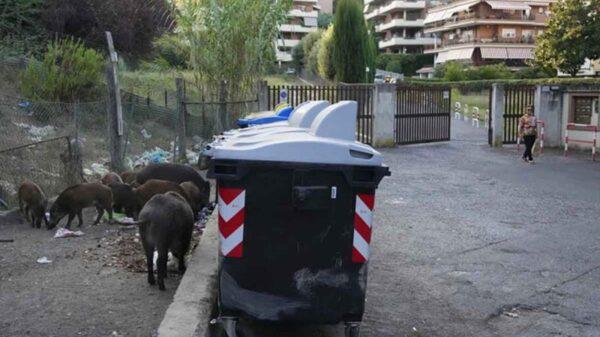 Jabalíes invaden Roma y hartan a los residentes