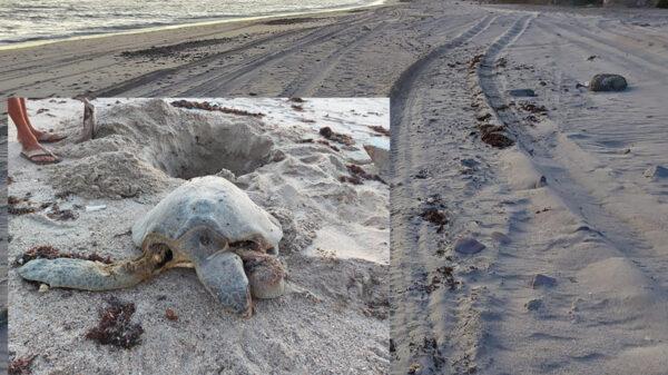 Denuncian criminal atropellamiento de tortugas marinas